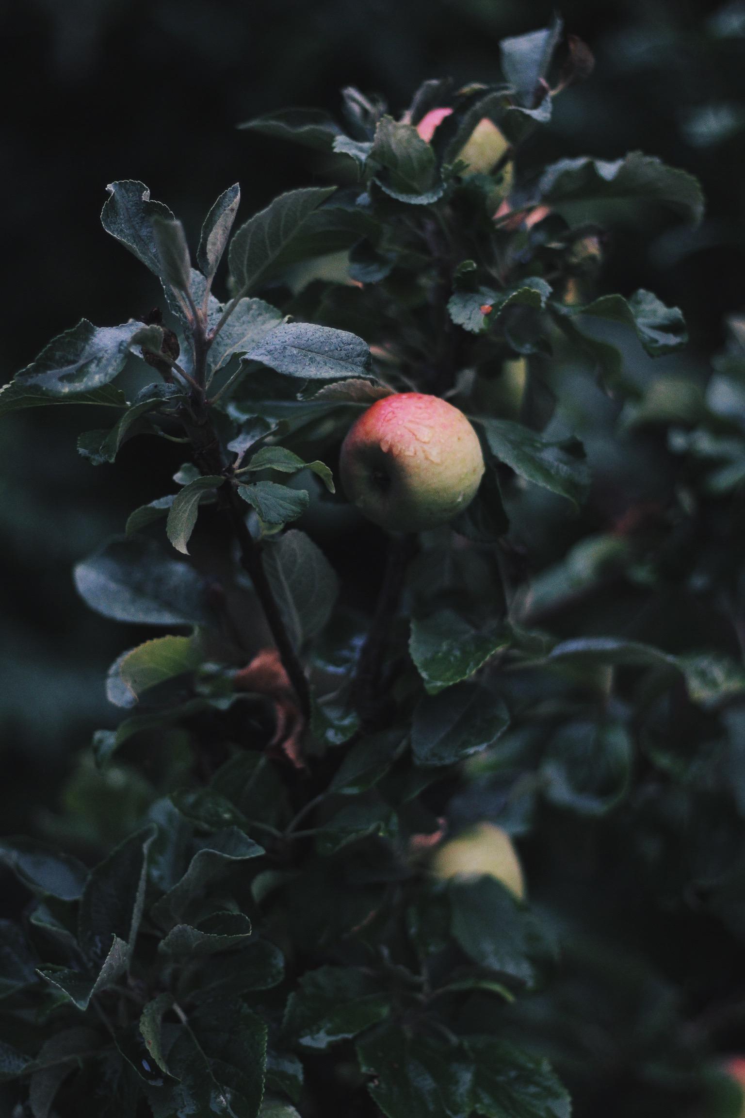 Apples growing in my garden