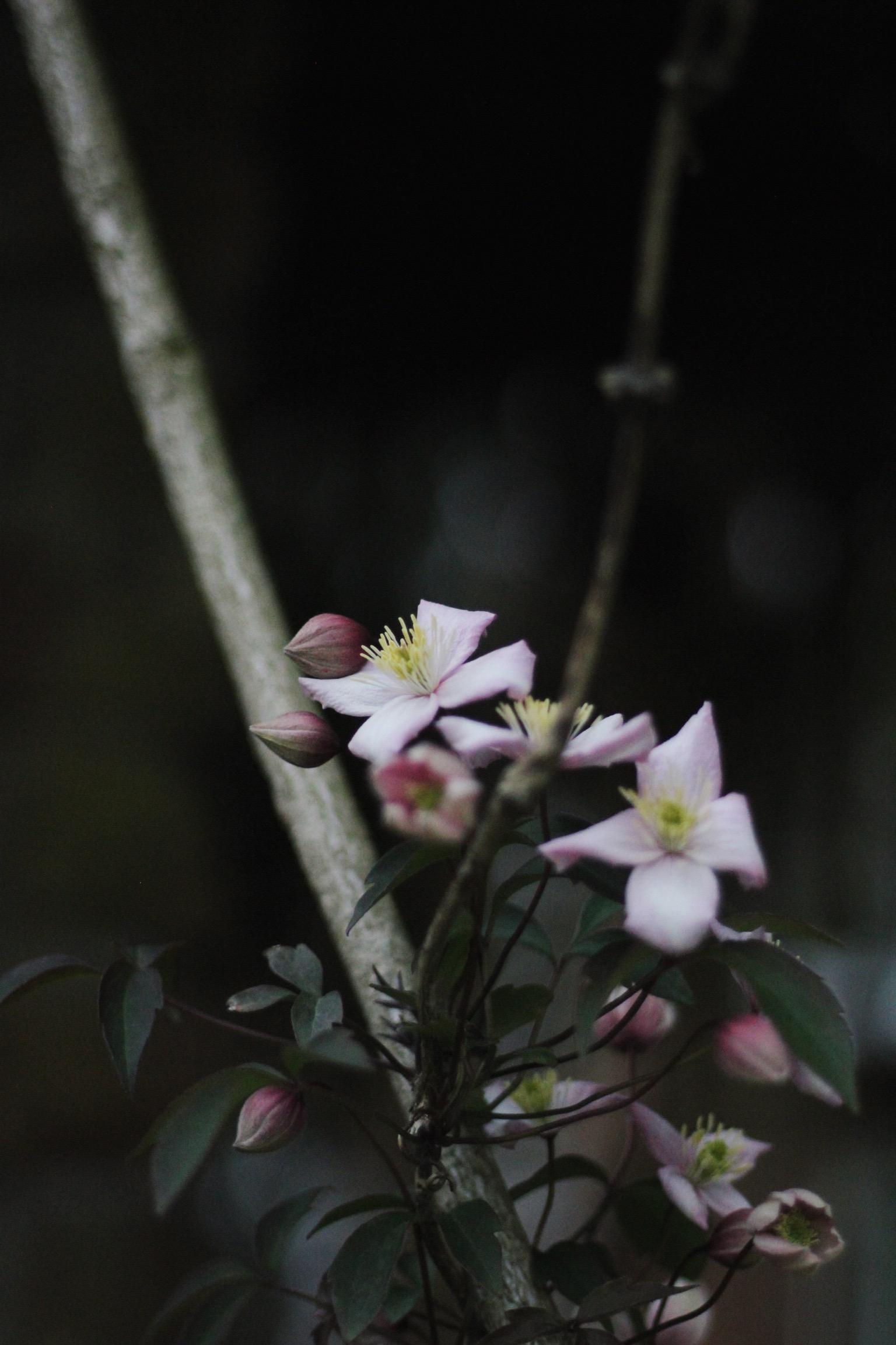 Clematis flower, Flower