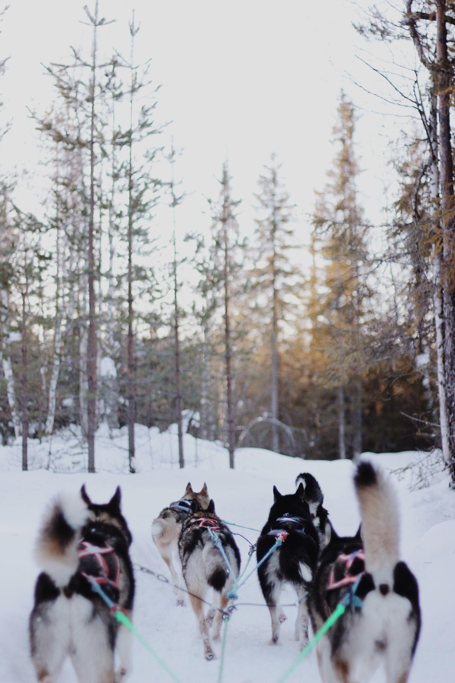 Husky Dog Safari, Rovaniemi, Finnish Lapland