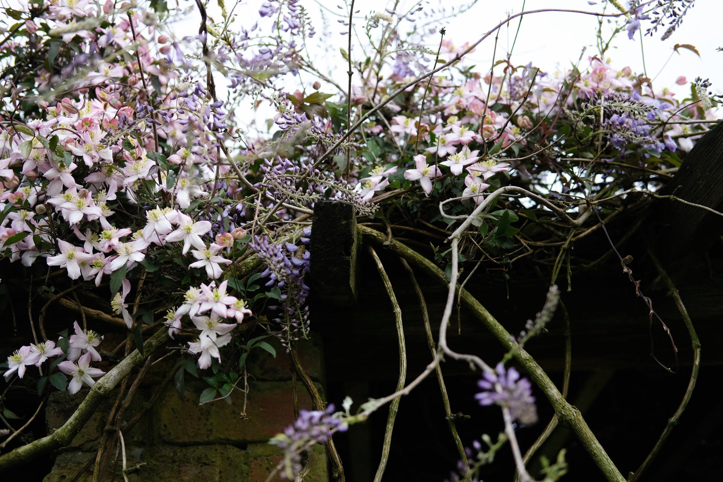 Clematis and Wisteria | Field + Nest