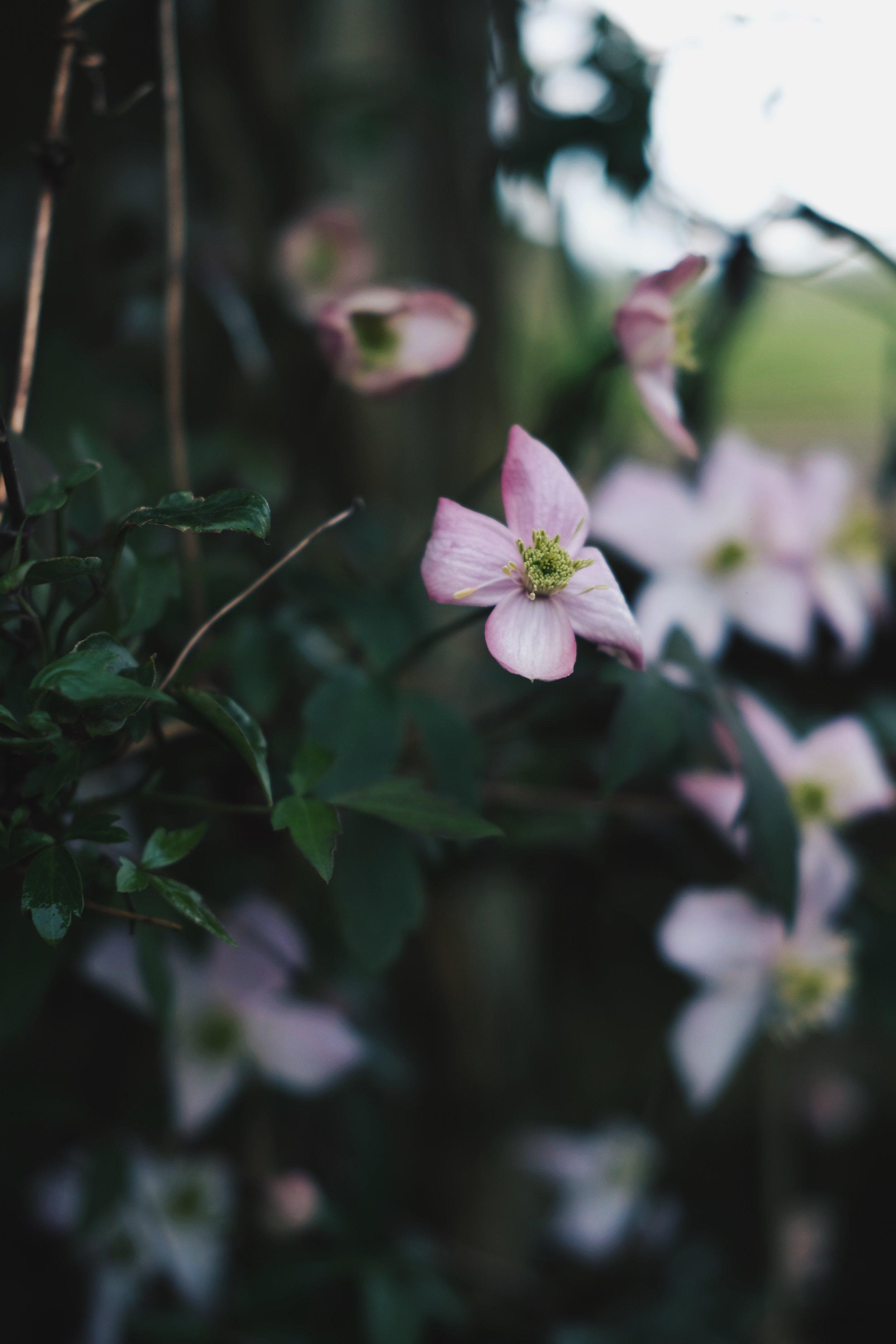 Clematis flower   Field + Nest