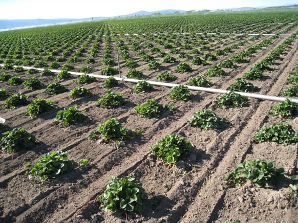 Strawberry variety research field in Macdoel.jpg