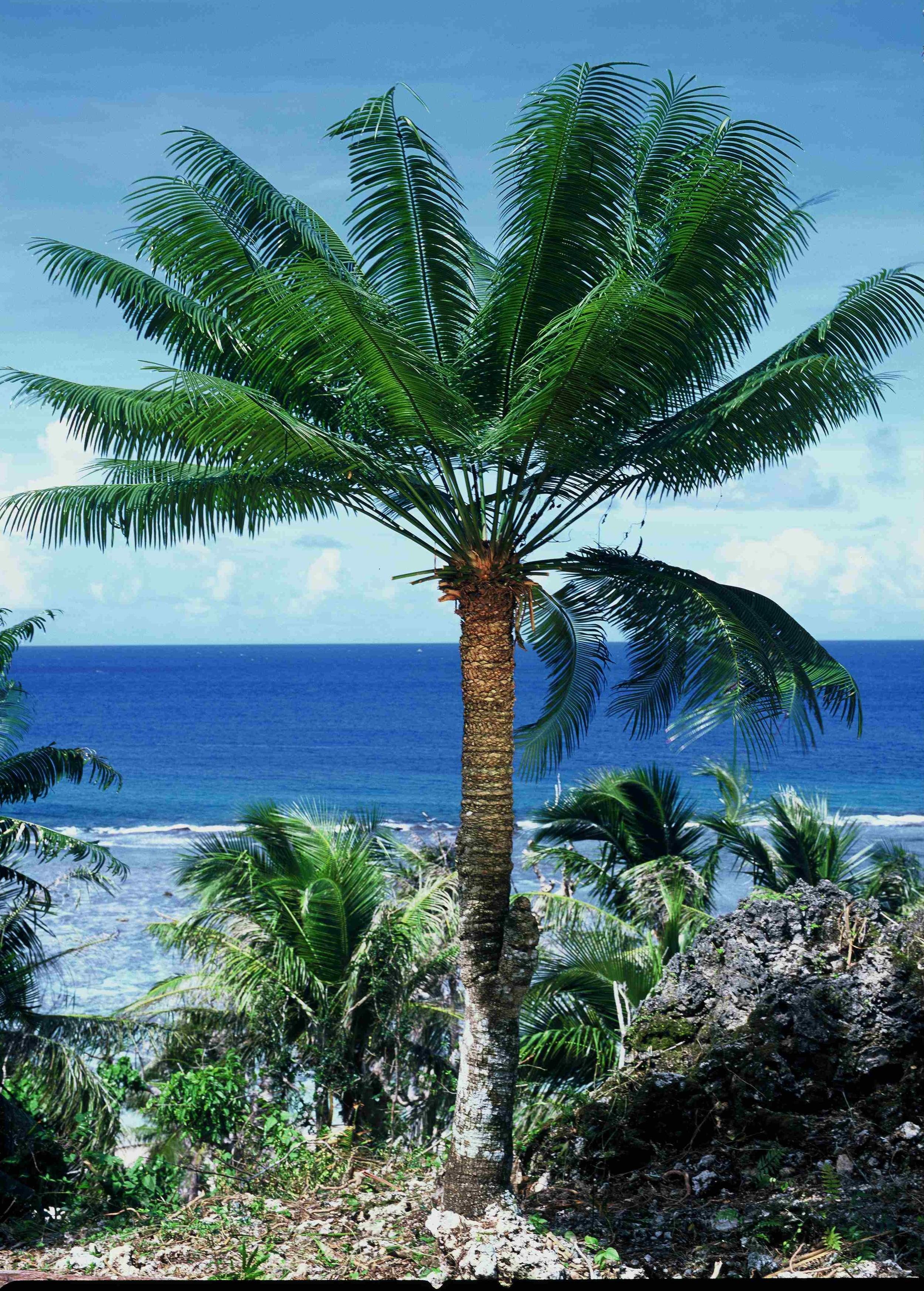 Guam Cycad in Habitat