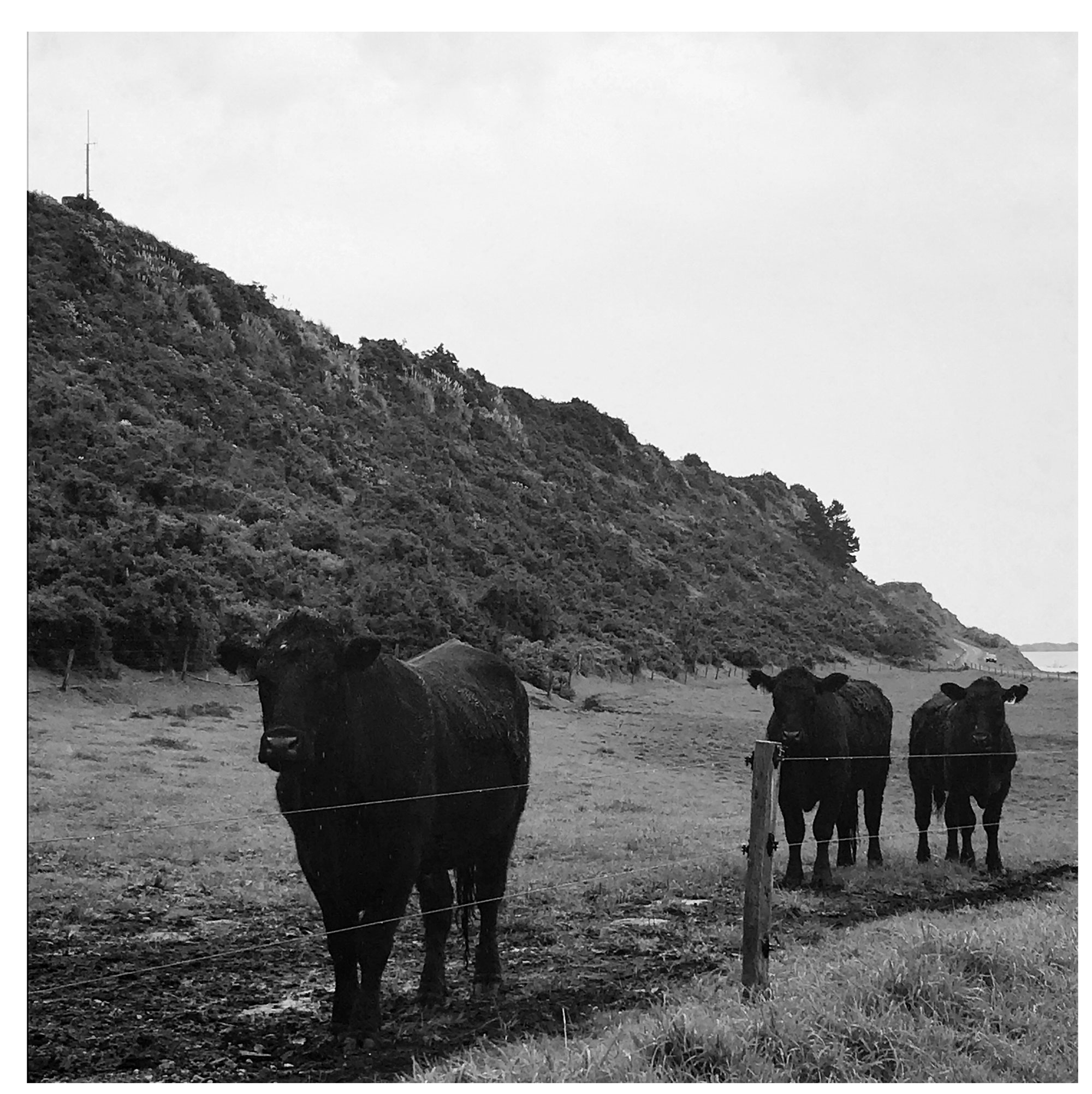Cows in the rain matching my mood, 7 October 2017