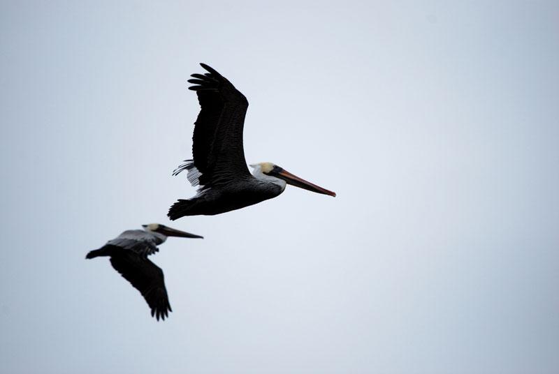 Brown Pelicans, Malibu, CA