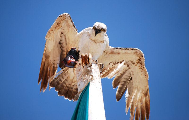 Osprey, Sharm El-Sheikh, Egypt