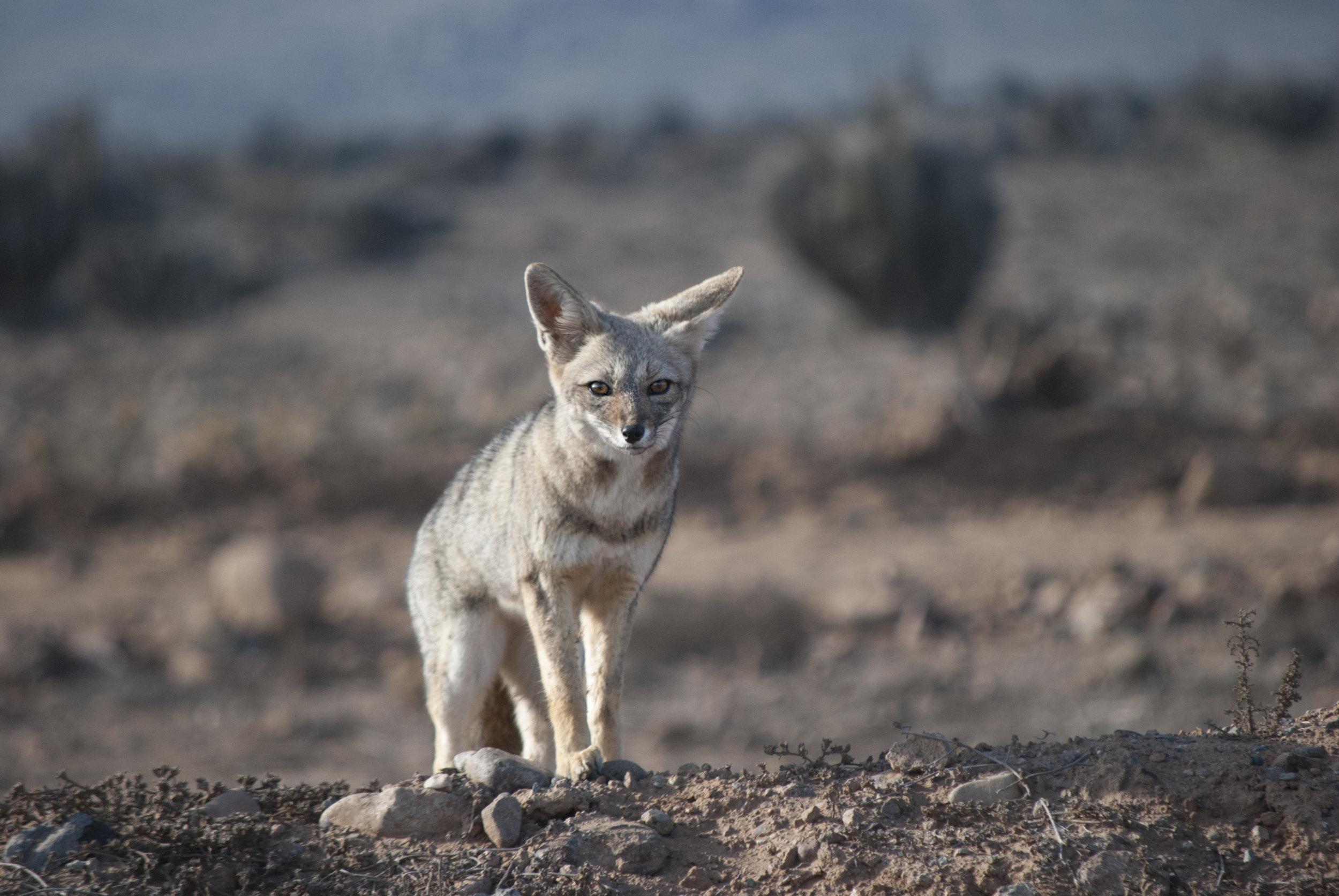 South American Gray Fox, Punta de Choros, Chile