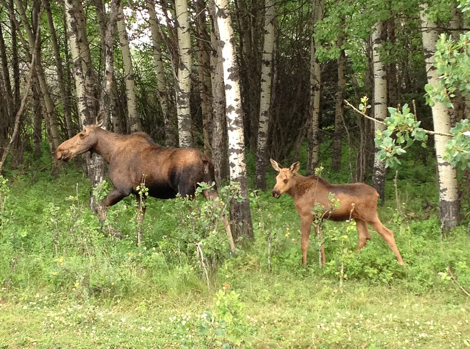 Moose and her calf
