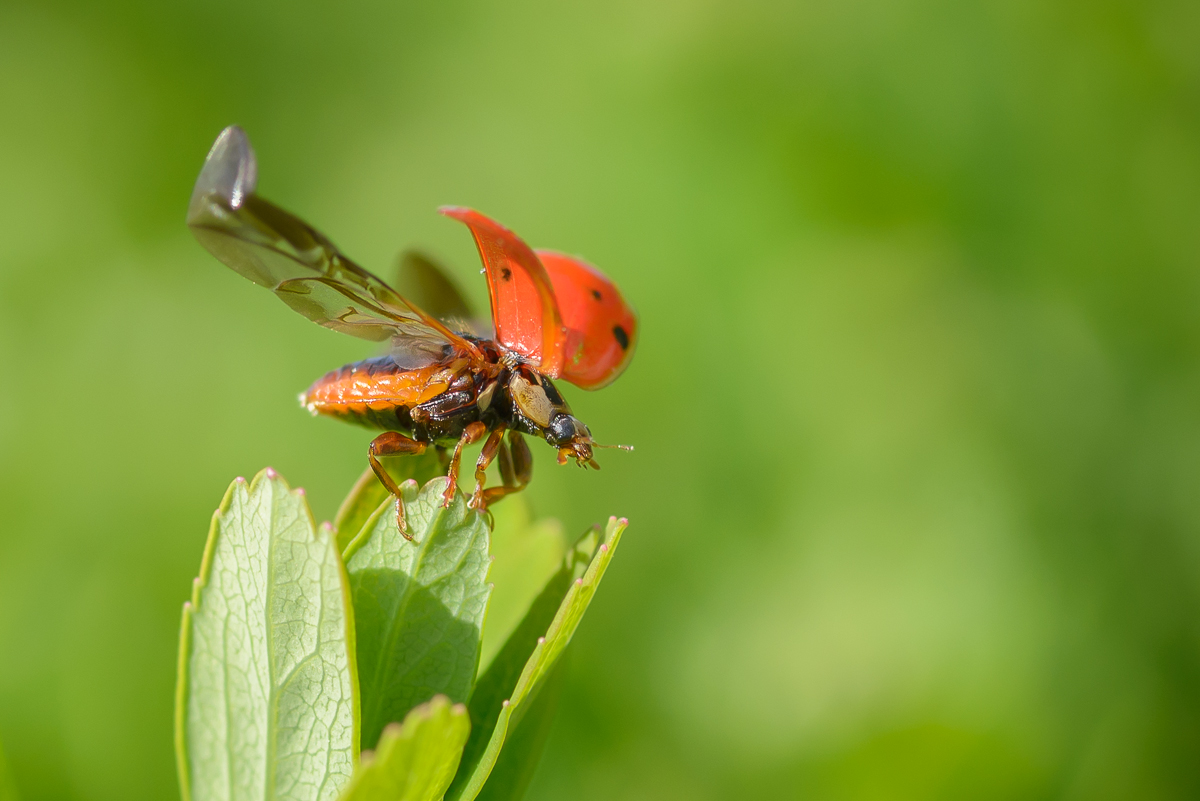 ladybug_macro_jeff_baumgart-2.jpg