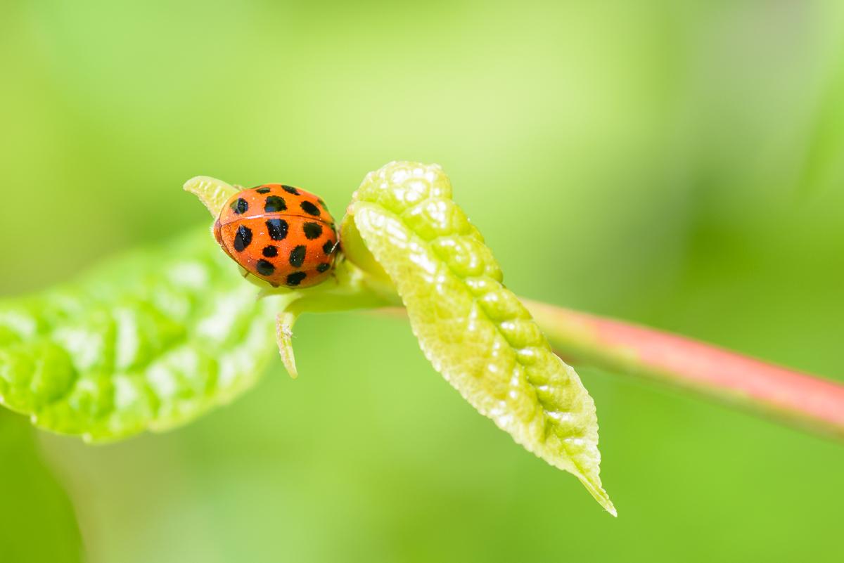 ladybug_macro_jeff_baumgart-3.jpg