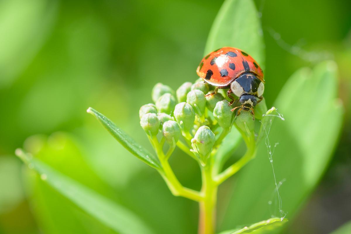 ladybug_macro_jeff_baumgart-5.jpg