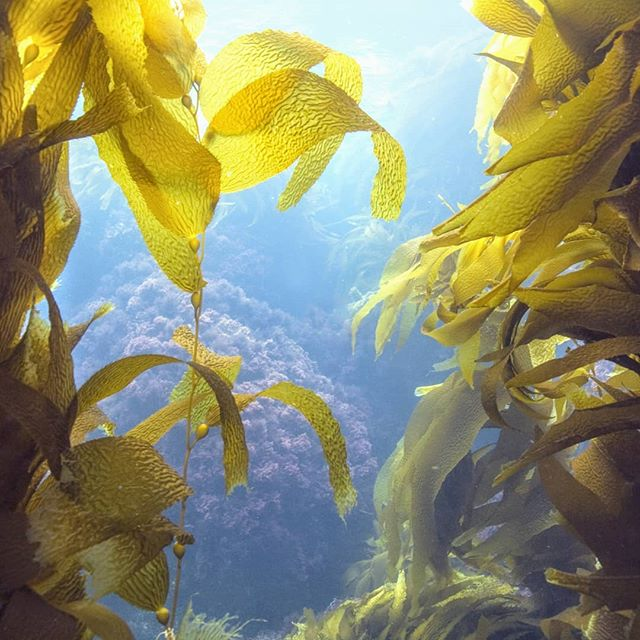 A fabulous harvest season - still getting our summer on! . . #californiakelp  #brownseaweed  #kelpforest  #sequoiaofthesea  #macrocystispyrifera #kelpme #seaweedfarming  #coastalconnservation #marinesystems #biomimicry #marcomazzaphotography  #californiabeauty  #pharmersea  #amaseabeautypartner  #weseayou