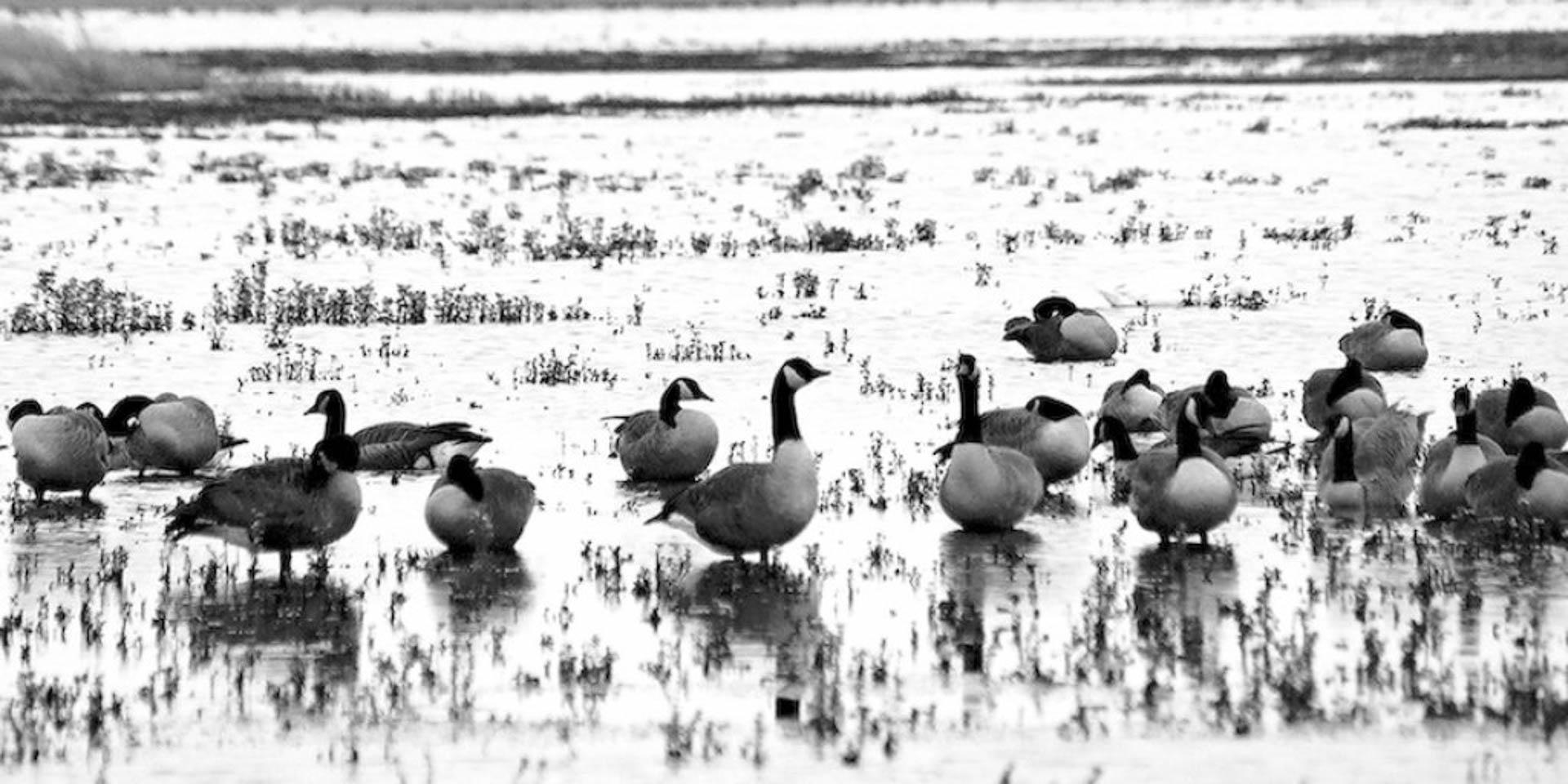 huddled-geese-2.jpg