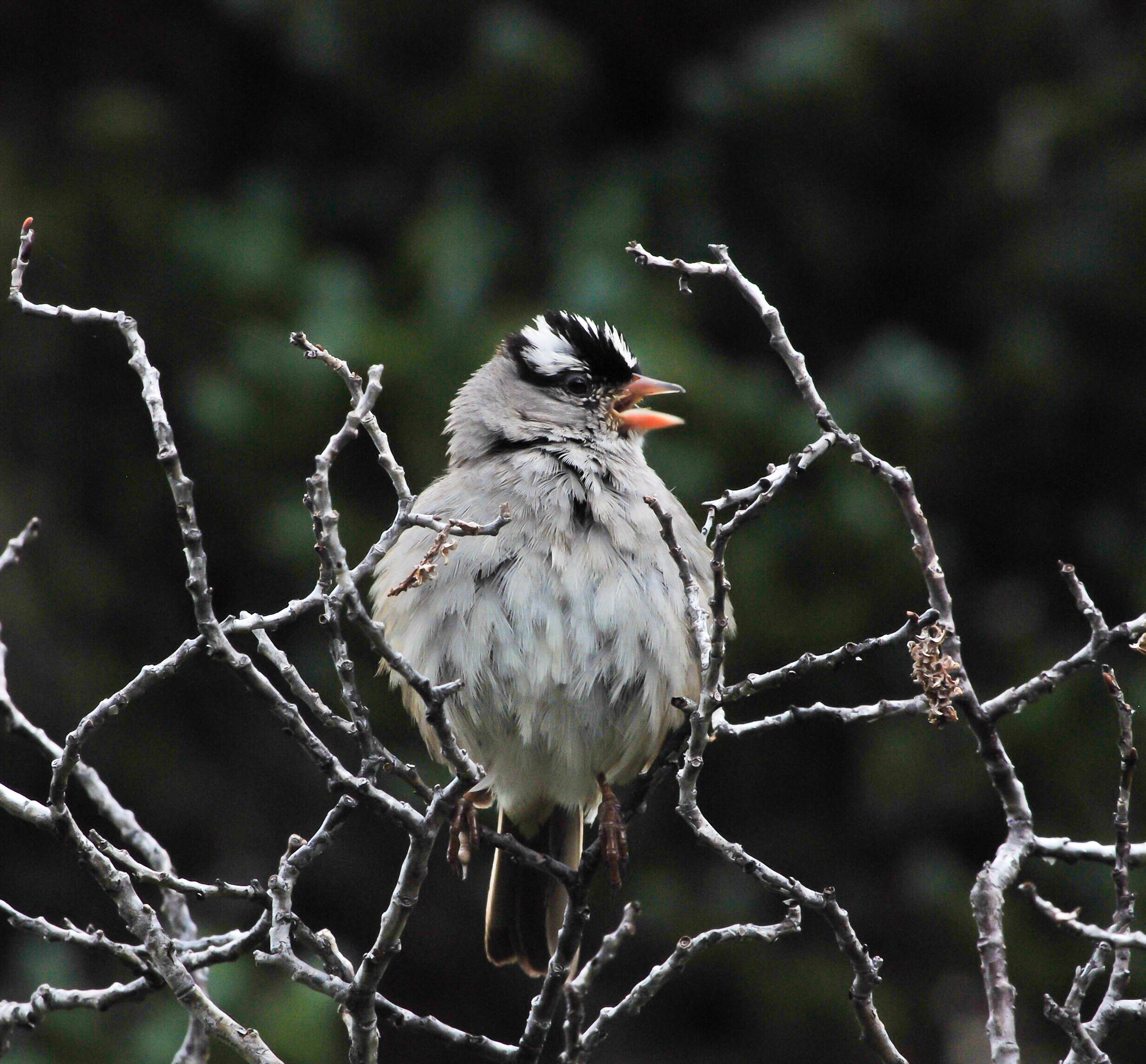 white capped sparrow (1 of 1).jpg