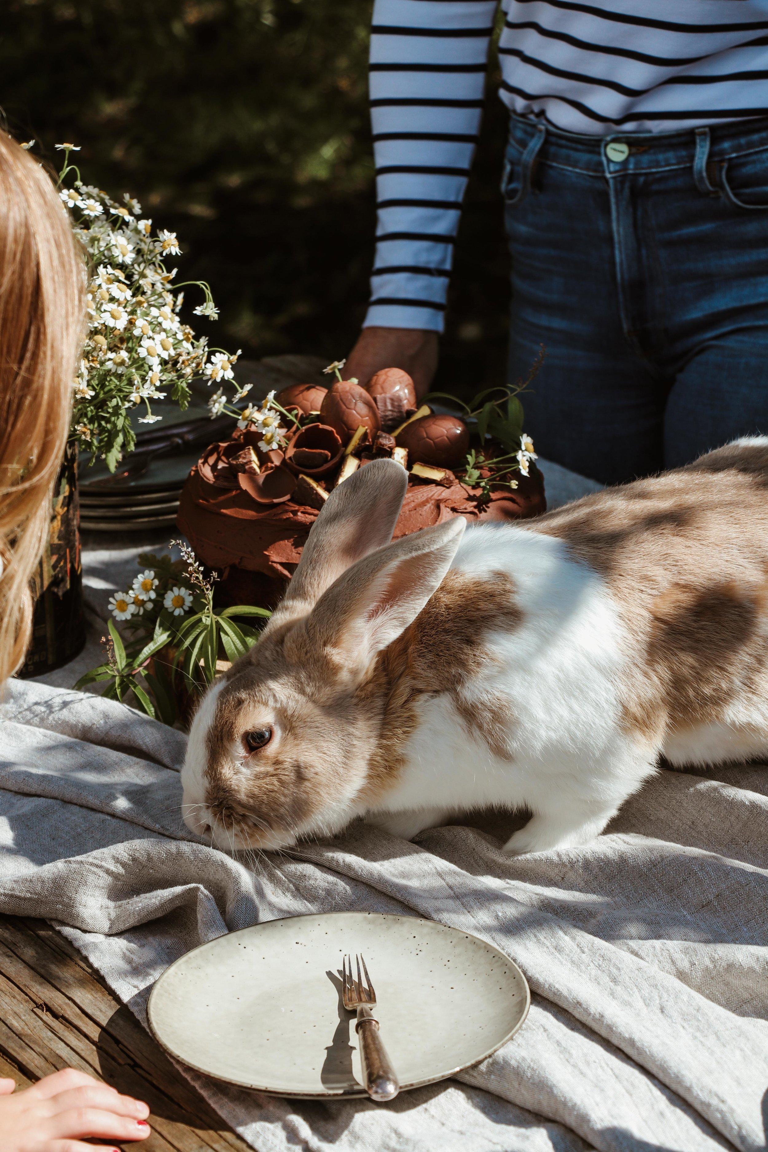 The giant Flemish rabbit, Franklin