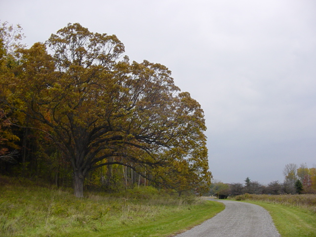 My favorite tree on the Vassar Farm (Oct 2003)