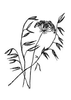 Wildflower drawing by Kate Hodgson