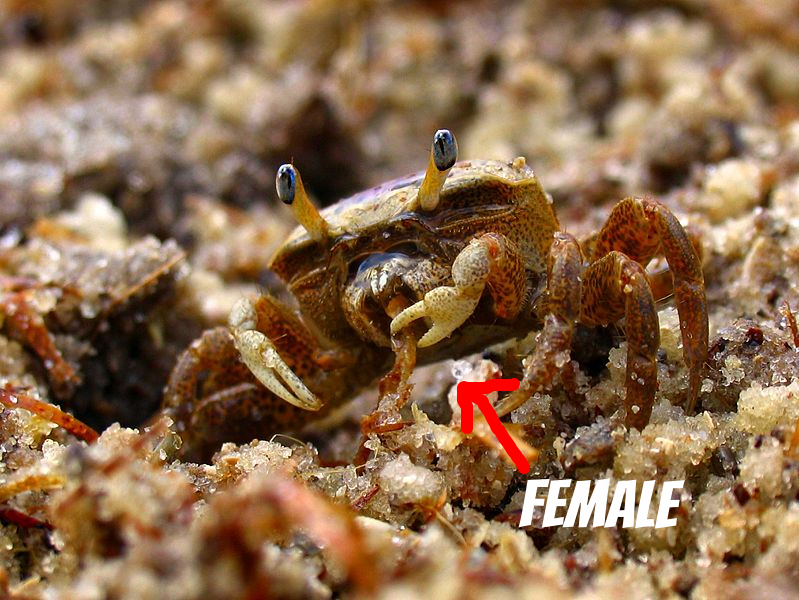 799px-Snackin'_Female_Fiddler_Crab_-_Flickr_-_Andrea_Westmoreland.jpg