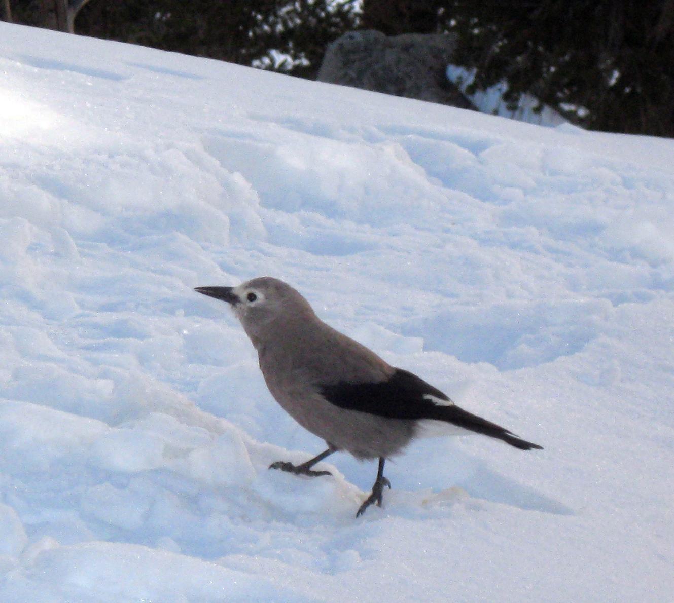 Clark's nutcracker in snow