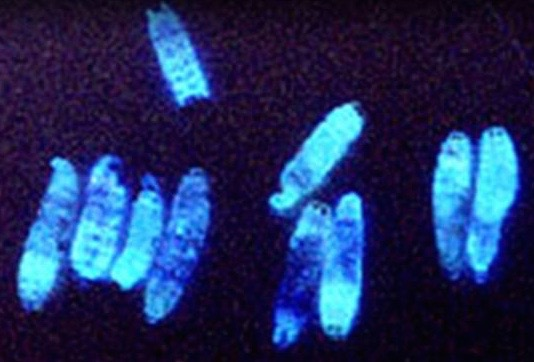 Glowing infected waxworms