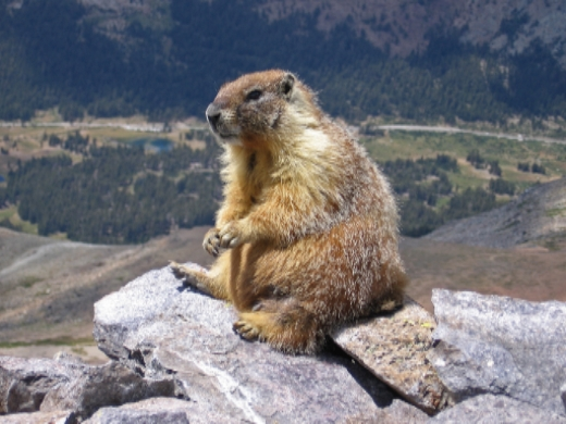 Marmots are animals that look like this. Though, this is the only one I've ever seen that looks like it is posing for a  Glamour Shot .