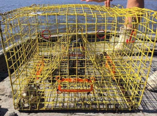 Blue crab trap