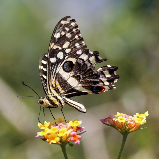 Here's a citrus swallowtail Christmas butterfly that is covered in pollen (the yellow dust on it) as it drinks nectar.