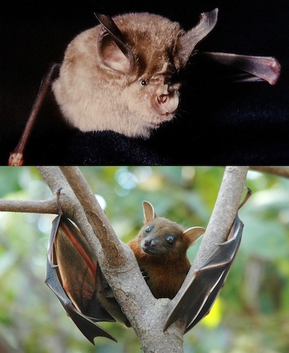 Despite what you may have heard, bats are not blind. They have eyes and they see about as well as we can.
