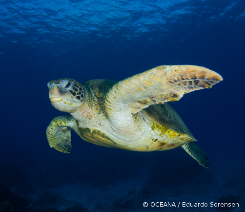 Sea turtles are in jeopardy. Each of the six sea turtle species found in United States waters is listed as either endangered or threatened and they may go extinct in the foreseeable future. Fishing gear in US waters kill thousands of sea turtles and injure even more each year. Other threats include ingestion of or entanglement in marine debris, pollution, coastal development, poaching, vessel strikes, climate change and predation by invasive species.   How Your Adoption Helps Save Sea Turtles:   Oceana's campaign to save sea turtles is dedicated to the protection and restoration of sea turtle populations in the world's oceans. Your donation will support our campaign to reduce sea turtle bycatch in fisheries and protect sea turtle habitat. All donations go towards making our world's oceans healthier and safer, for generations to come.