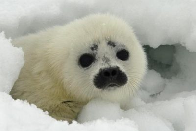 The smallest, and one of the most common seals in the far north, a ringed seal pup weighs no more than 10 pounds at birth. Raised in an ice den, their white furry coats help them camouflage in the Arctic's icy landscape. Adult ringed seals feed mainly on fish and shrimp, and stay close to the ice for their entire lives.   How Your Adoption Helps Protect Ringed Seals:  Ringed seals are susceptible to the effects of ocean pollution and are influenced by the changing shape of the ice flows of the Arctic coast, some that are melting due to global warming. Oceana works to combat climate change and promote clean energy. All donations go towards making our world's oceans healthier and safer, for generations to come.