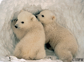 Icon of the Arctic, the polar bear is the largest mammalian carnivore and has amazing resilience and power. For centuries, the polar bear has been hunted by native peoples of the Arctic, without numbers declining. However, thinning of the Arctic's sea-ice by global warming could seriously reduce its access to food.   How Your Adoption Helps Protect Polar Bears:  To best protect polar bears and other wildlife, Oceana is focused on addressing all of the threats affecting Arctic wildlife. Your donation goes to support our campaigns to fight climate change, industrial fishing, ocean pollution, and oil and gas exploration and development. All gifts go towards making our world's oceans healthier and safer, for generations to come.