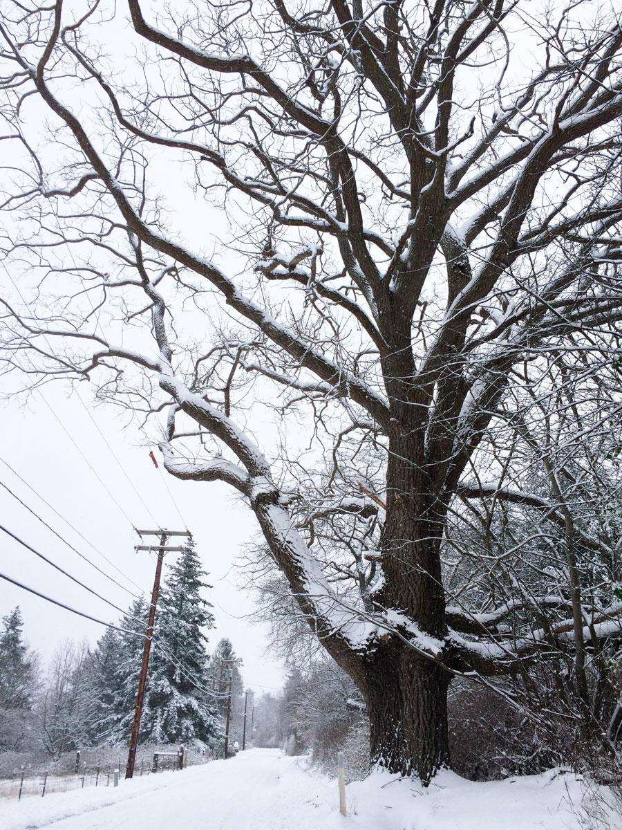 Frederick Lane's black walnut tree on North Nugent Road
