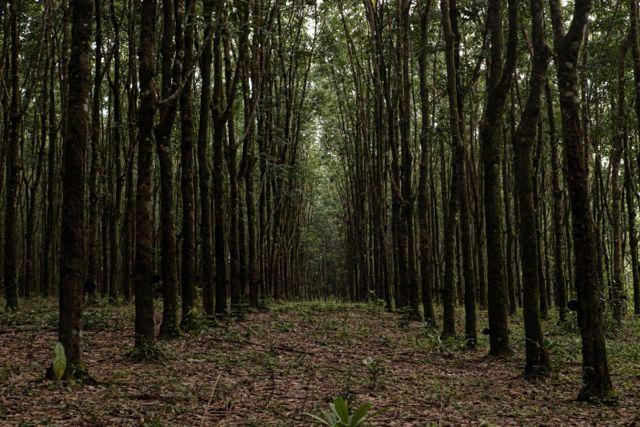 5 cRubber trees.jpg