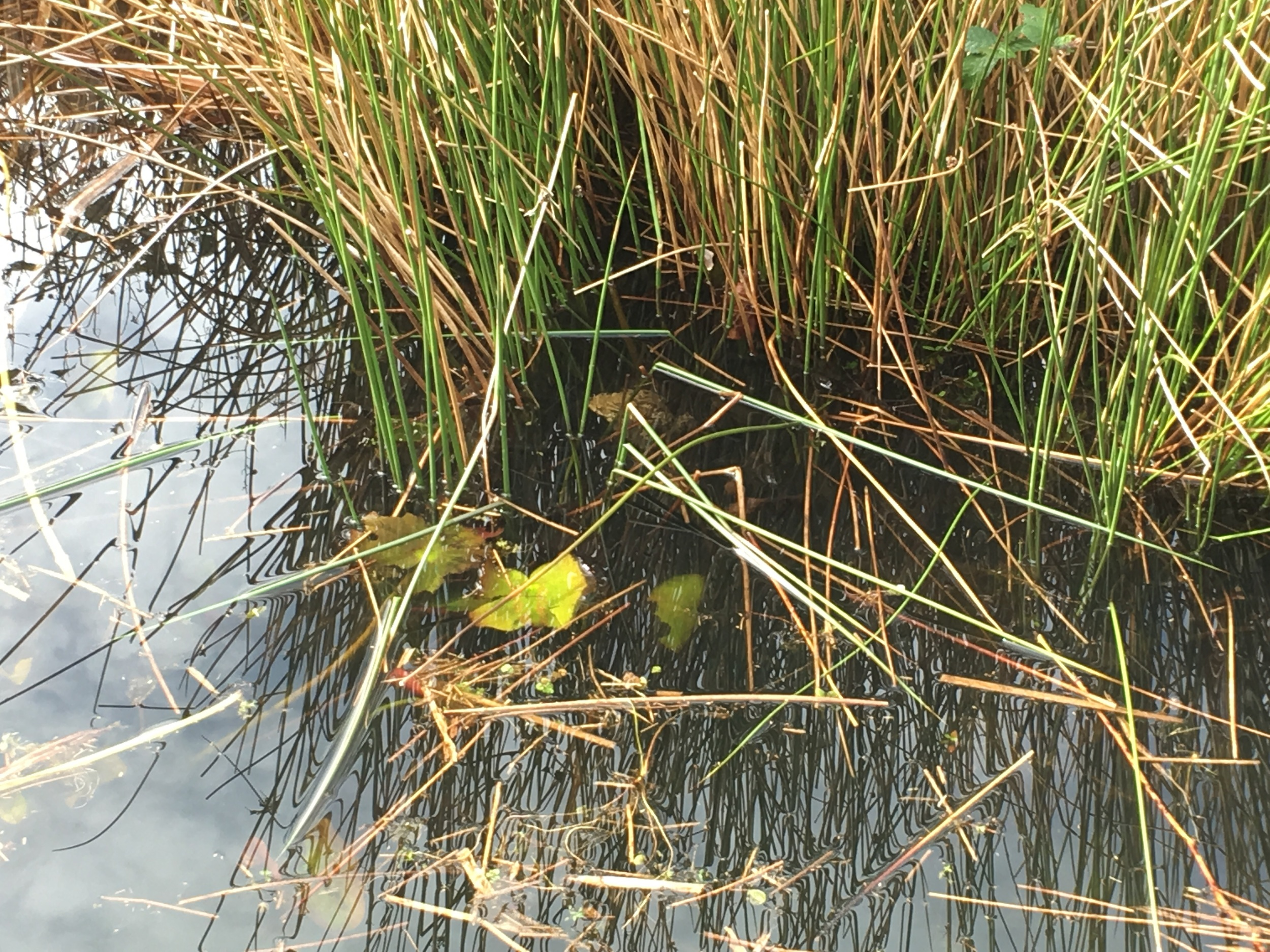 Can you see the frog in the reeds?