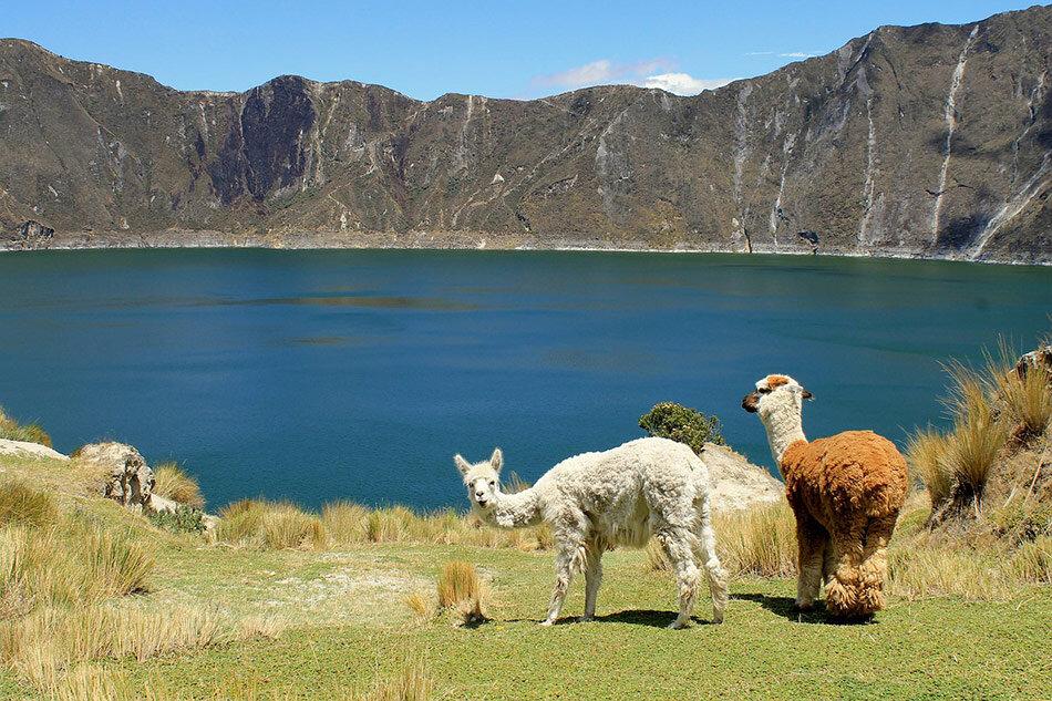 Lamas in Ecuador