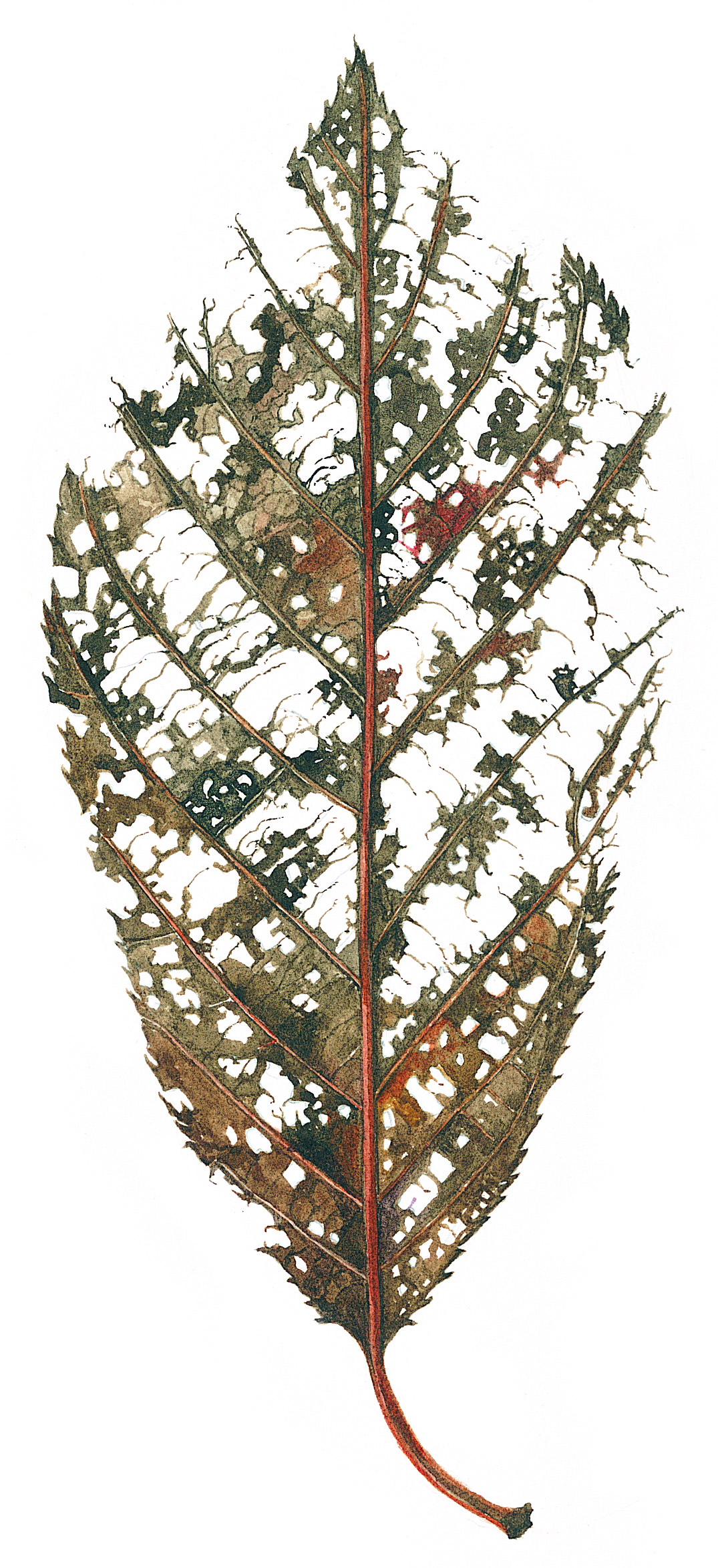 Cherry Leaf Skeleton