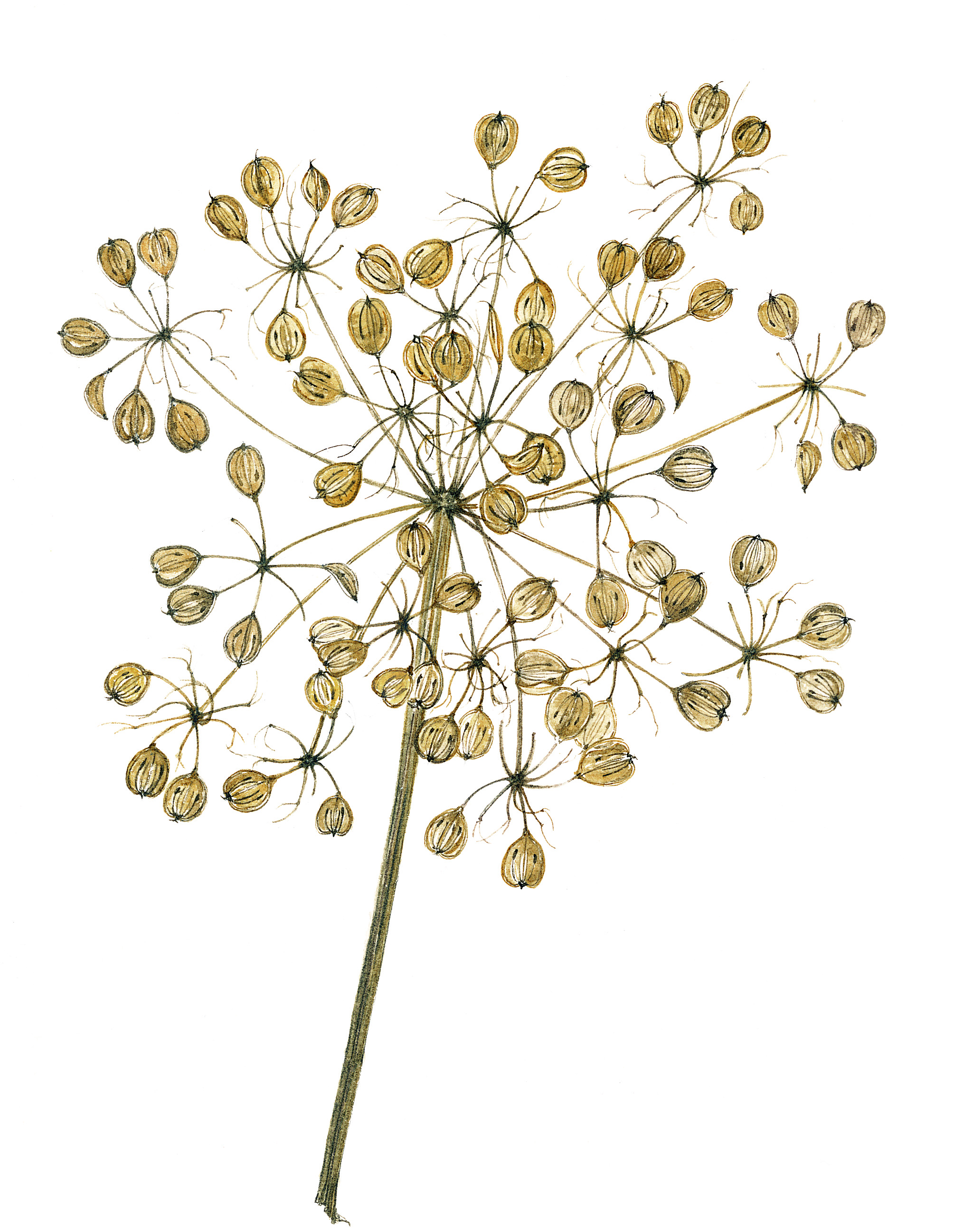 Cow Parsley Seedhead