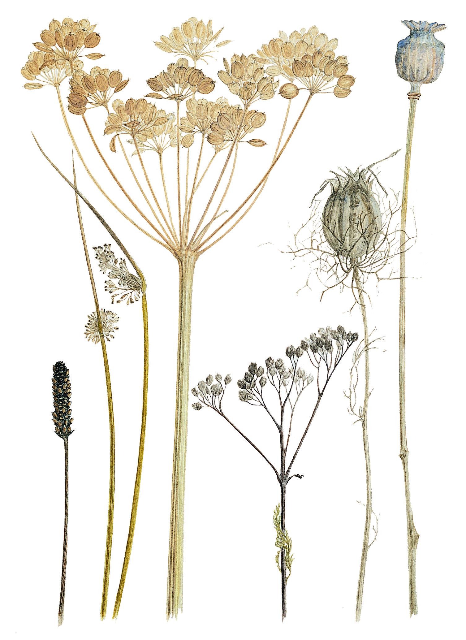 Field Seedheads