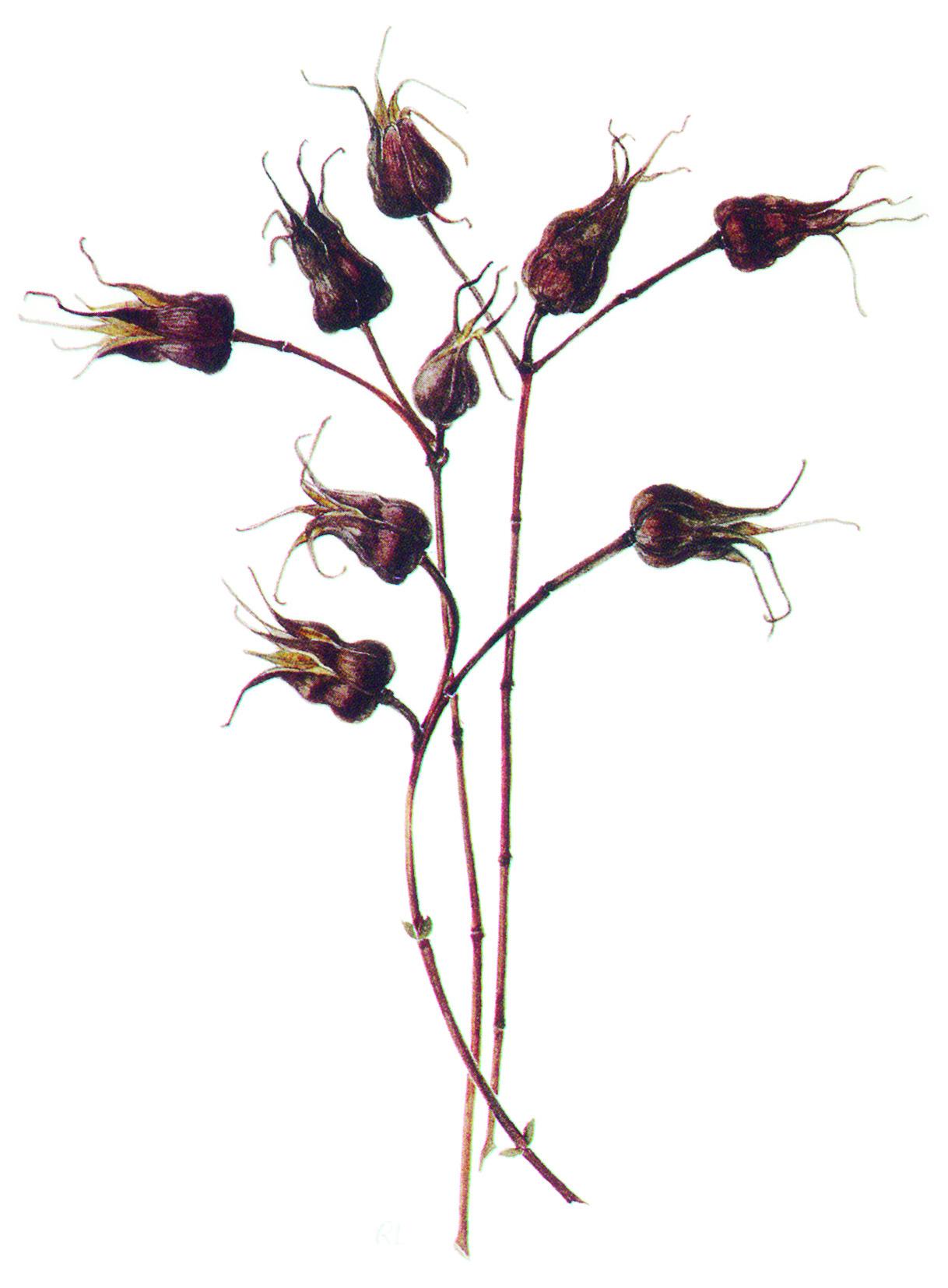 Hypericum Seedheads