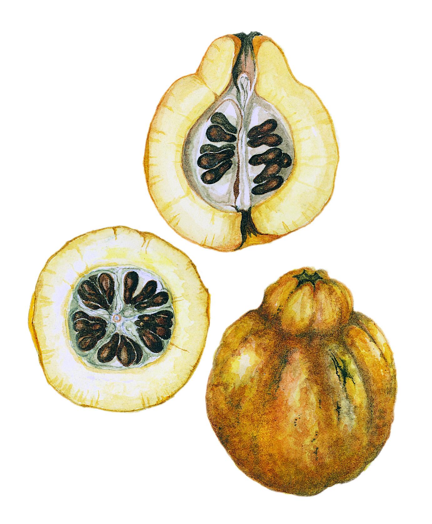 Japonica Fruit