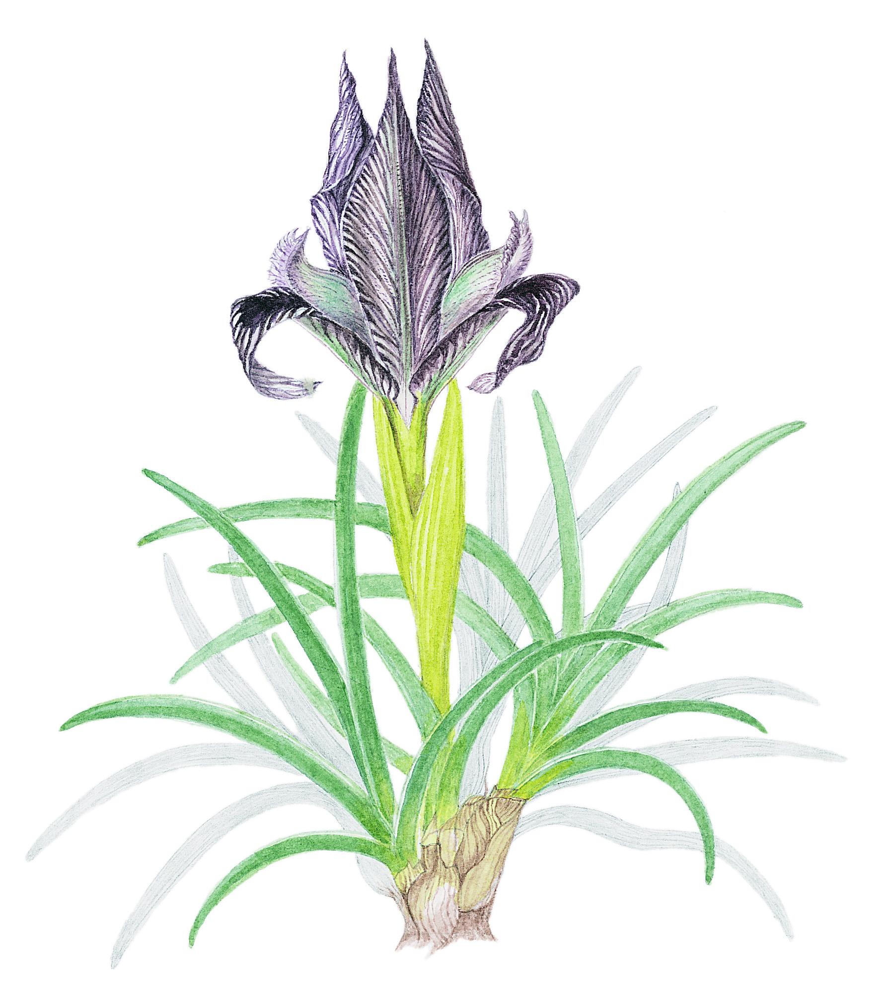 Mountain Iris