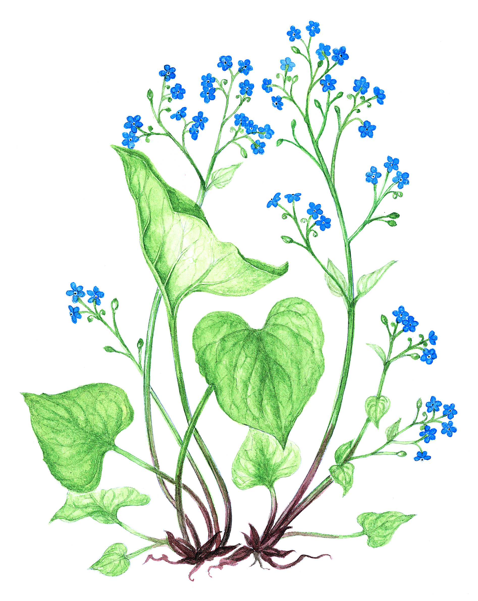 Perennial Forget Me Not