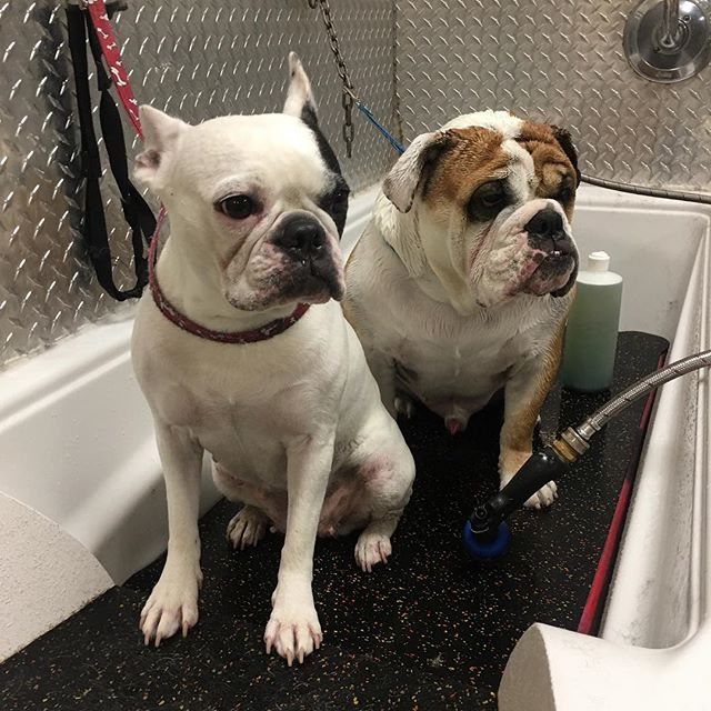 Brother and sister in the tub, always want to be together 🤗🤗 #lolo #yvr #yvrdogs #lowerlonsdale #northshore #dogs #dogsofig #dogs #lovedogs