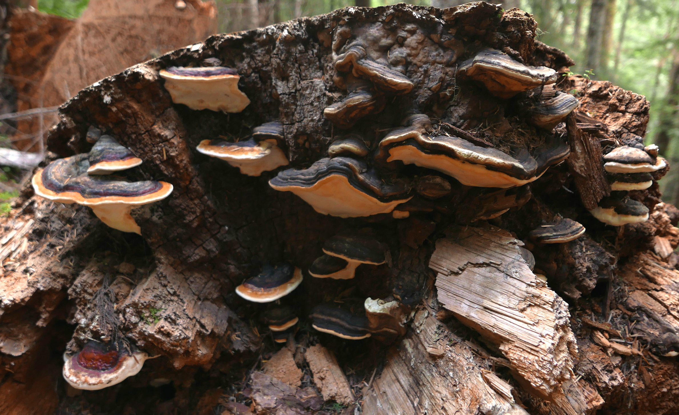 polypore colony