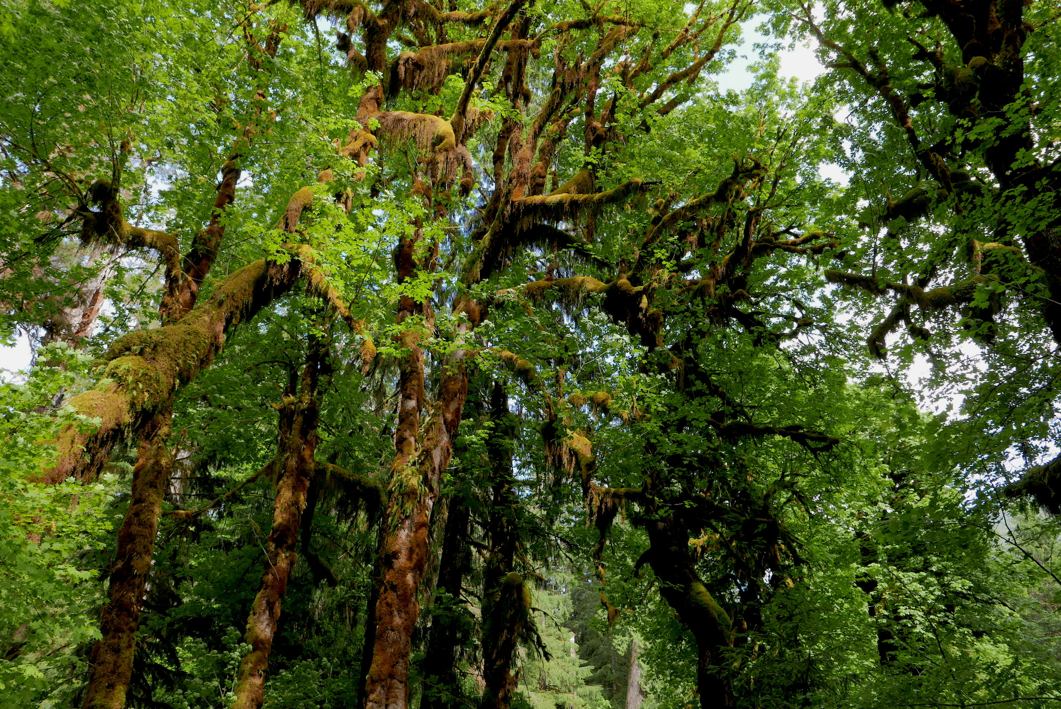 moss draped ancient maples characterize the canopy along the Hoh River
