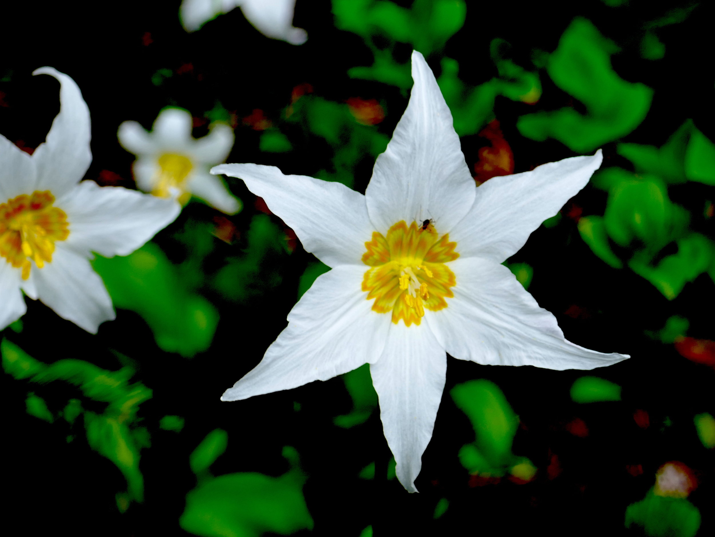 Avalanche lilies in bloom along the PCT