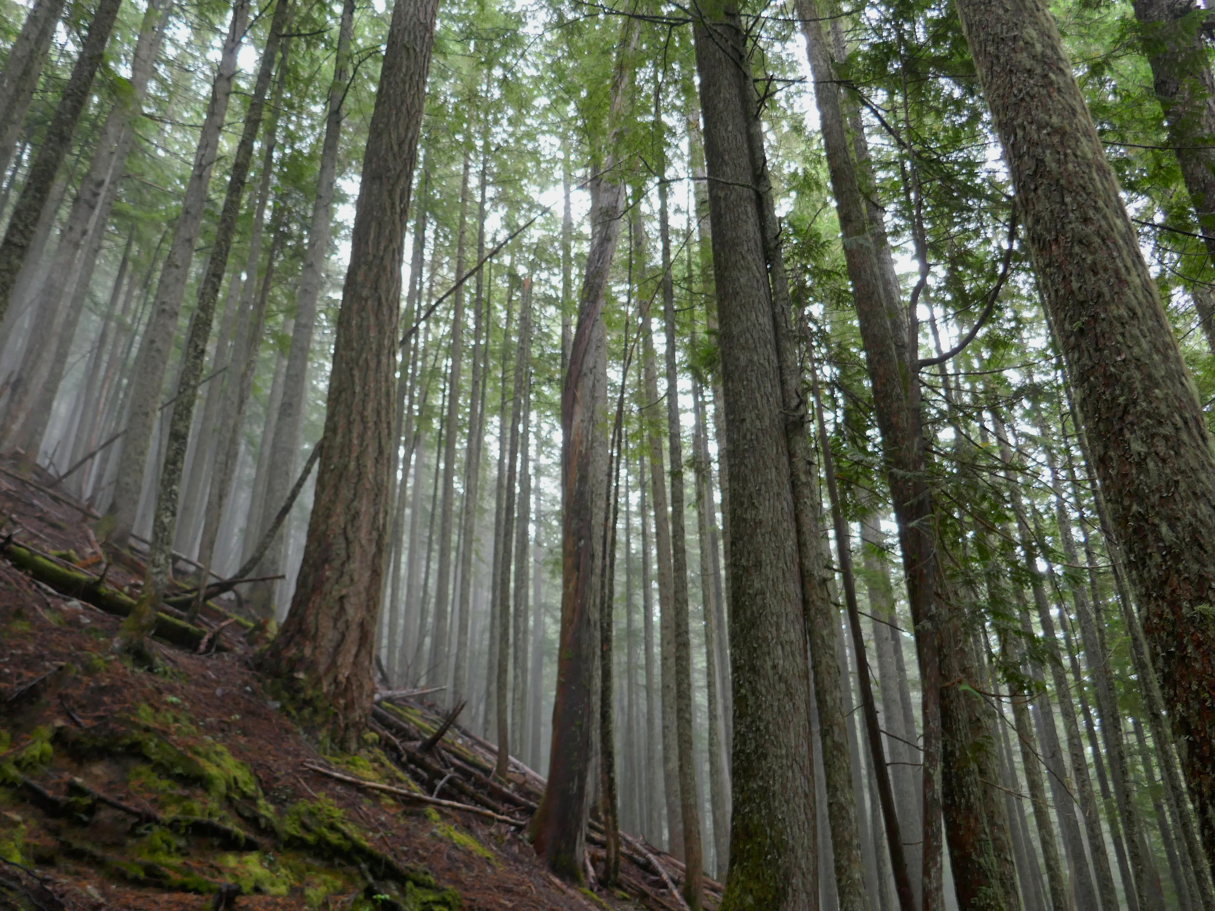 Trees in the mist on the 3000 foot climb to Windy Gap on the NLT
