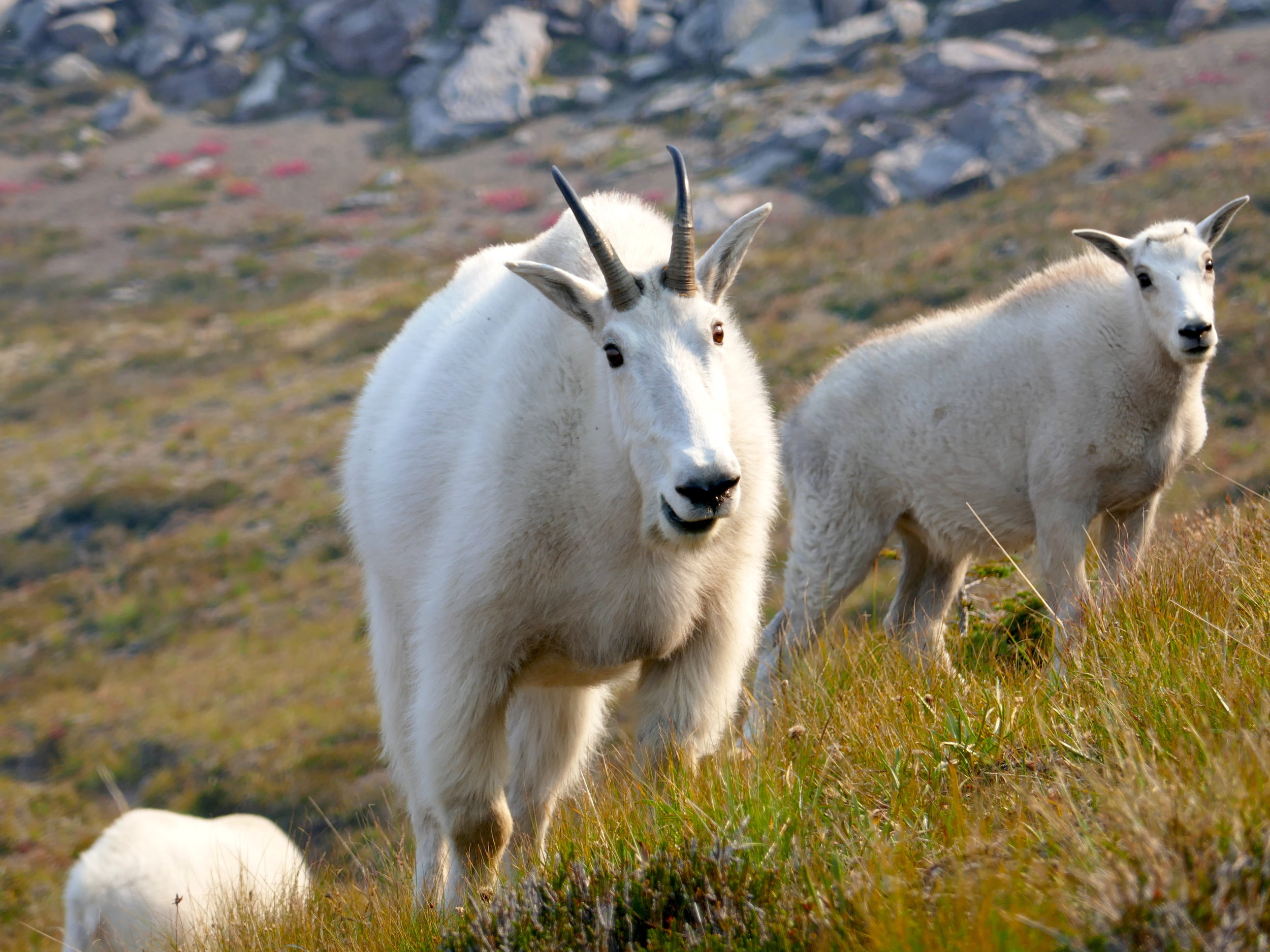 Goats encountered as I near Sunrise on the September Wonderland section hike.