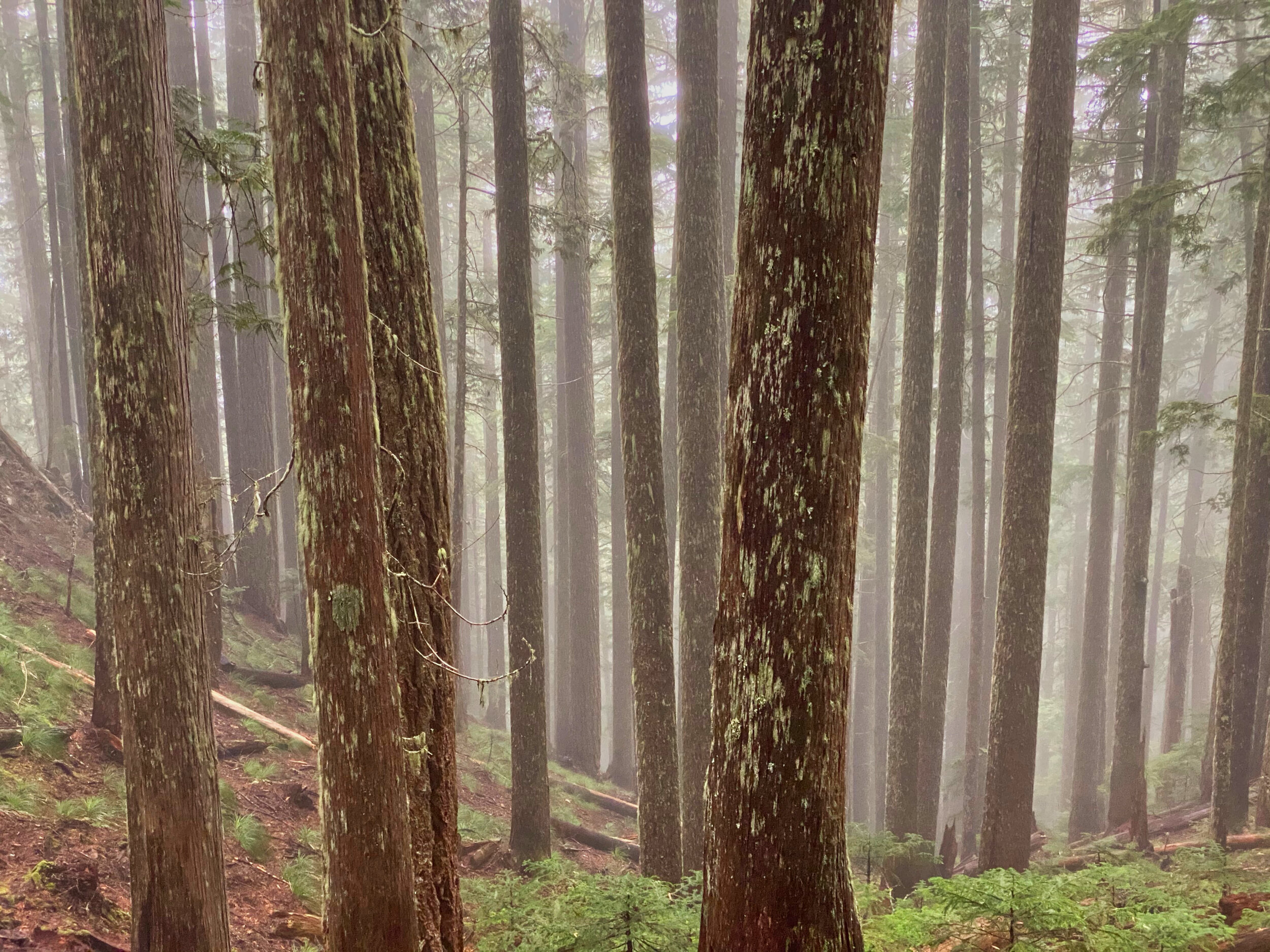 The misty woods; Mt. Rainier's Boundary Trail