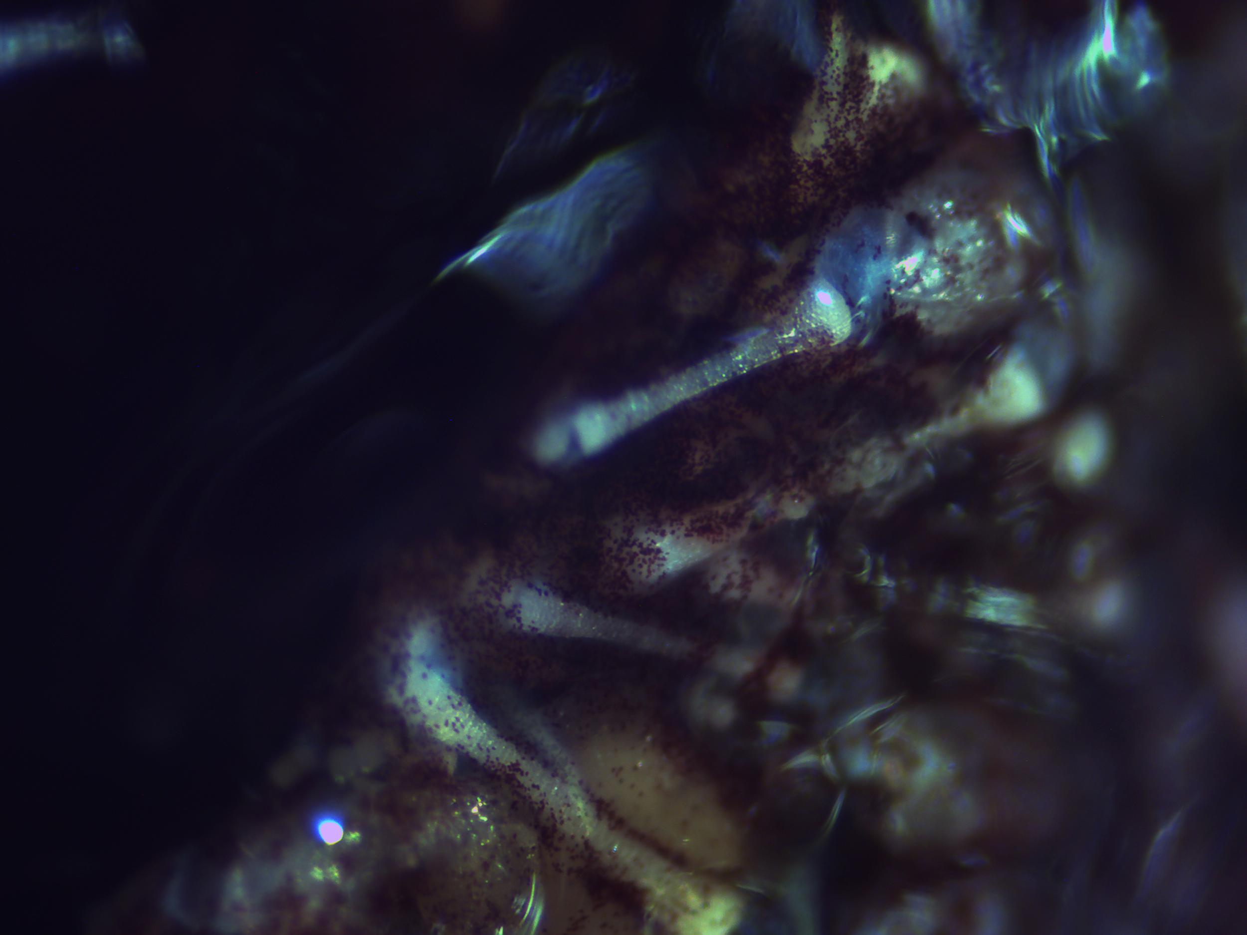 Sea Urchin image